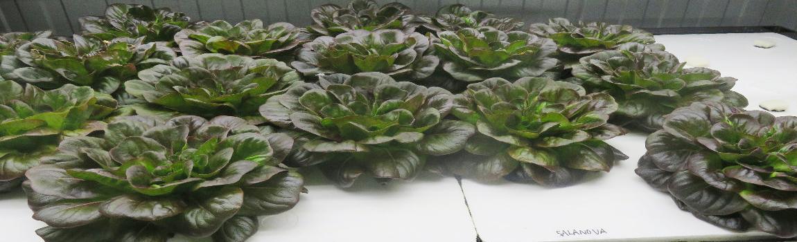 """Cultivo de lechugas en """"Plant Factory"""" en ambiente controlado."""